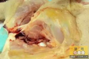 治疗母猪高热引起的附红细胞体病的方案