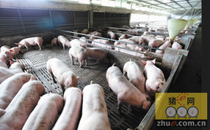 高架网床养猪可减少排污量80%以上