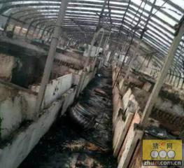 惨!养猪场失火 300多头猪被烧死