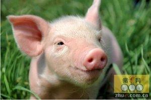 """猪价涨迹明显 猪市""""春天""""是否已来临?"""