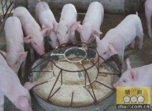 冬季应给猪喂点抗寒饲料