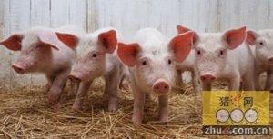 冬季这样养猪才有好效益