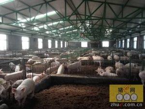 猪舍通风不良是致病因素?冬季猪舍通风不可忽视!