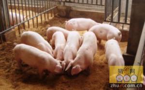 猪采食量下降的诸多原因,需一一排除!