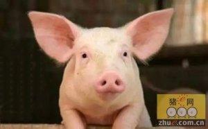 需求,成本,利润等因素,导致猪价上涨空