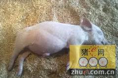 猪突然胀气死亡,原来是这个病在作怪!