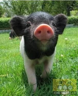 英国大学推出宠物猪缓解考生压力