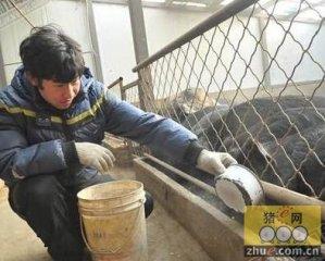张家口90后小伙养藏香猪致富