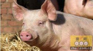 为猪单独制定口粮削减总体成本