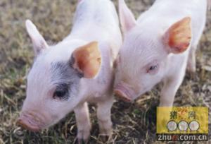 影响猪群健康五大猪场安全隐患