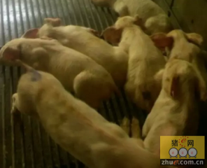 猪断奶后多系统衰竭综合征的流行现状及症状诊断分析