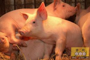 利用红外相机监测种猪体温可降低猪仔死亡率