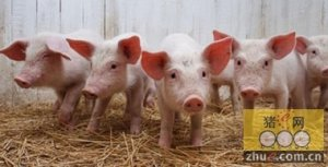 猪场综合管理措施的几个关键点