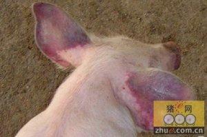 PED致欧盟仔猪死亡率达70%,英国采取了新的措施