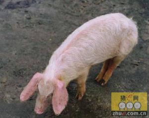 """""""母猪消瘦综合征""""并不是一种独立的疾病?"""