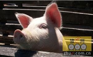 元旦养户加快出栏 预计生猪供应量上升