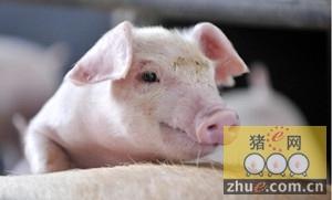 需求旺盛供应不足 1月猪价或迎来一波上涨