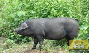 生猪快速催肥五要点