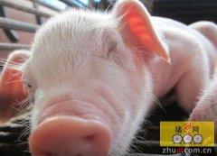重庆:彭水农民工叶富强返乡养猪奔富路