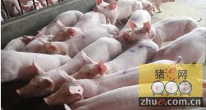 猪价涨势略有放缓 养猪户小心出栏压栏