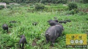 国家科技进步奖获得者:地方猪资源保护利用的破题