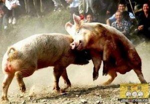 """""""神""""总结,何种情况下给猪并圈不用担心猪打架?"""