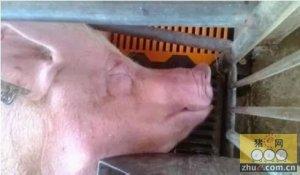 母猪产后便秘、厌食最简单最廉价的有效操作技巧!