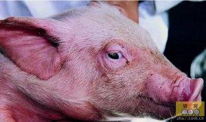 猪咳嗽气喘病的治疗用药
