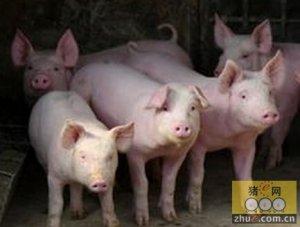 欧猪种猪行情将在2016年回弹