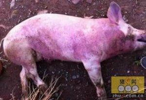 为什么免完猪瘟疫苗抗体水平低、猪瘟疫情高发?