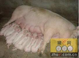【养猪经验】侃谈后备母猪那些事儿