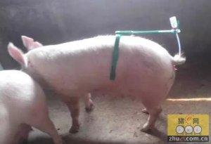 PIC猪场管理经验:后备母猪达到最佳配种效果有诀窍