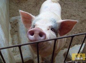 第二百六十三篇 纯种与二元猪哪个好?