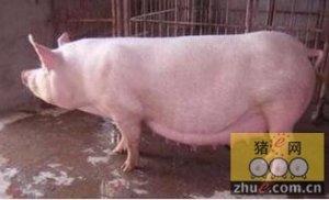 母猪阴道脱出的防治措施