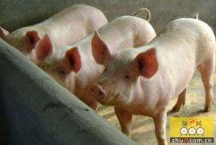 野猪数量过大 福建南平市将猎捕7500头野猪