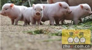 近期中小场新进仔猪增加,如何降低发病率?