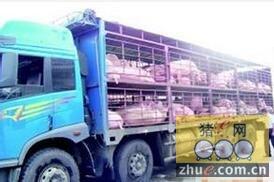 货车飞奔途中17头生猪被人一一偷走