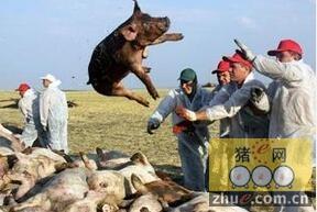 乌克兰猪群又暴发非洲猪瘟