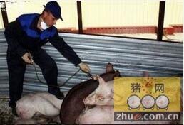波兰新爆发非洲猪瘟