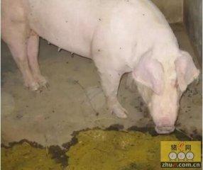 """中大猪又吐又泻的""""TGE""""与只泻不吐的""""PED""""的预防措施"""