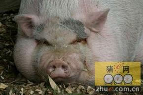 猪场春节特别忙,工人要放假?难!