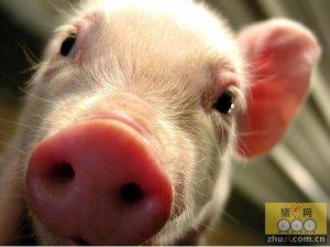 怎样提高高致病性猪蓝耳病疫苗免疫效果