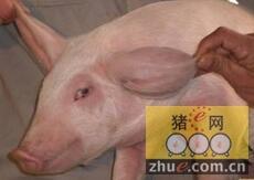 预防猪蓝耳病的三种选择
