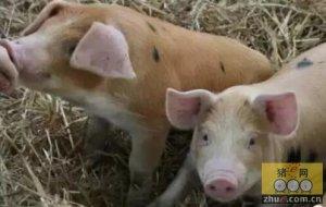 如何让猪舒适渡过断奶阶段