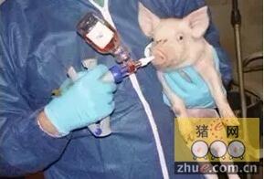 为什么仔猪刚出生时要喷鼻免疫