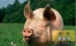 母猪秋冬保健贴膘不如养蹄