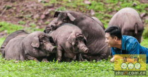 明星也养猪 周润发、姜文、黄晓明都来吃他的猪肉