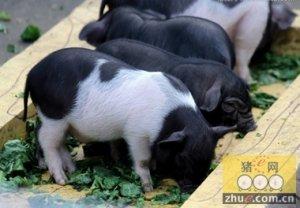 安徽:岳西有机黑猪获投资者青睐