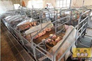 猪场产房是一个牵一发而动全身的环节,谈谈母猪管理这门深奥系统的学问!
