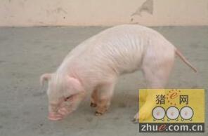 猪链球菌病的类型及防治